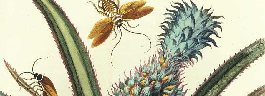 Maria Sibylla Merian, Plate 1 fm Dissertation in Insect Generations and Metamorphosis in Surinam, 1719; Hand-colored engraving on paper; Gift of Wallace and Wilhelmina Holladay